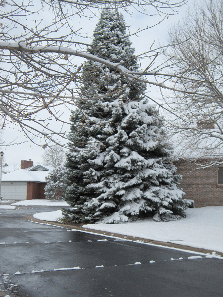 An almost perfect Christmas card scene with snow on the large blue spruce tree across the street