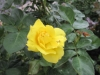 Like a yellow rose of Texas