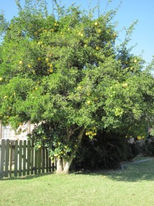 Sweet Orange Tree overgrown with Rough Lemon root stock