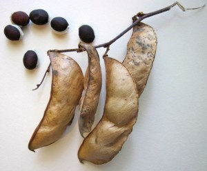 purple hyacinth bean vine seeds and pods