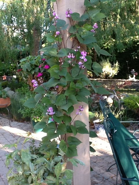 Purple Hyacinth Bean Vine in Bobbe's garden - photo credit Bobbe J.