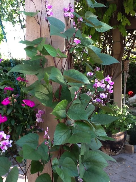 A closer shot of Purple Hyacinth Bean Vine in Bobbe's garden - photo credit Bobbe J.